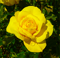 A yellow rose. The photo has had all its blue removed.
