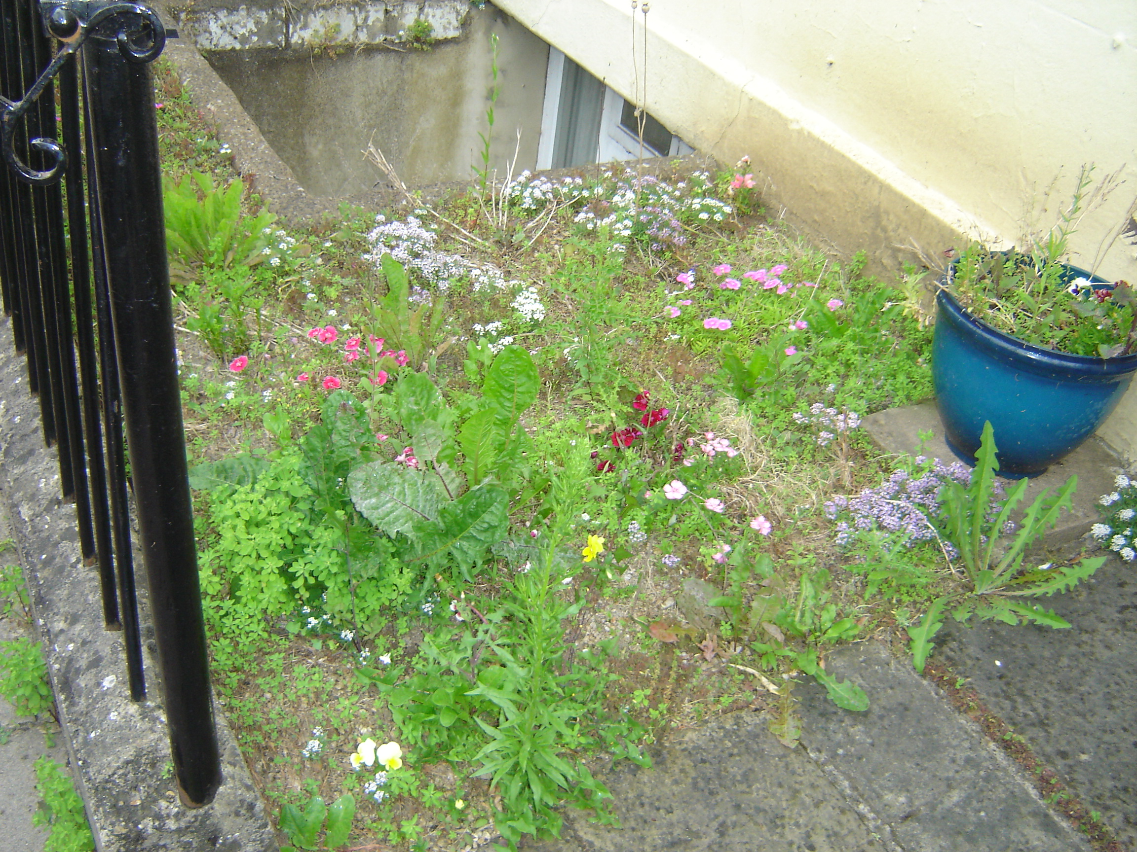 A garden patch with pinks and some other little flowers