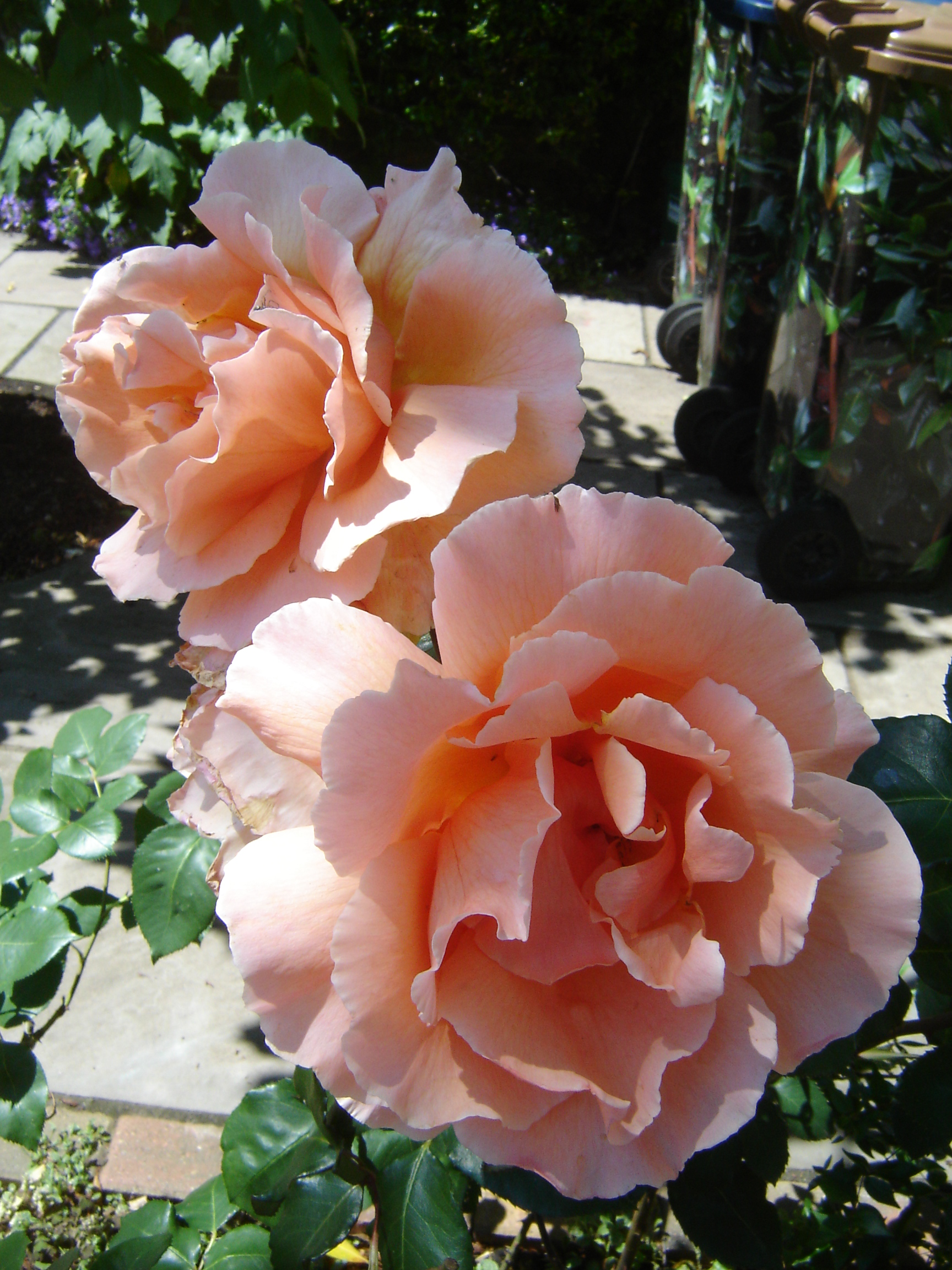 Peach-coloured rose in garden.
