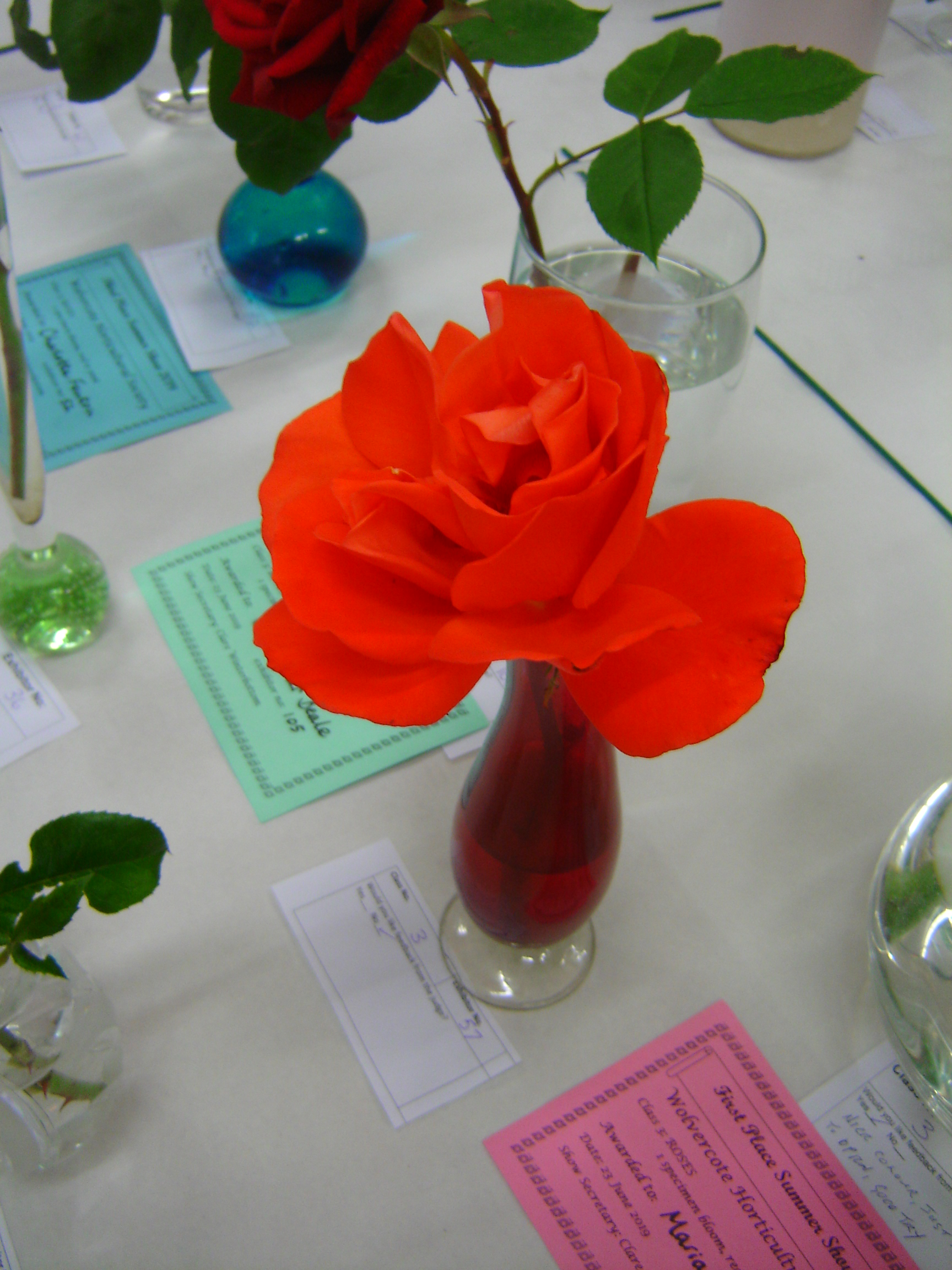 Orange-red rose, displayed on table as exhibit in Wolvercote Horticultural Society summer show.